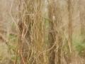 Janomoles mežs